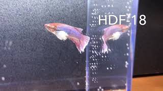 Halfmoon Dumbo Female