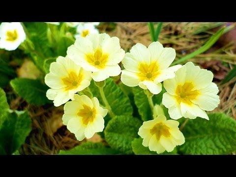 Цветы садовые первоцветы