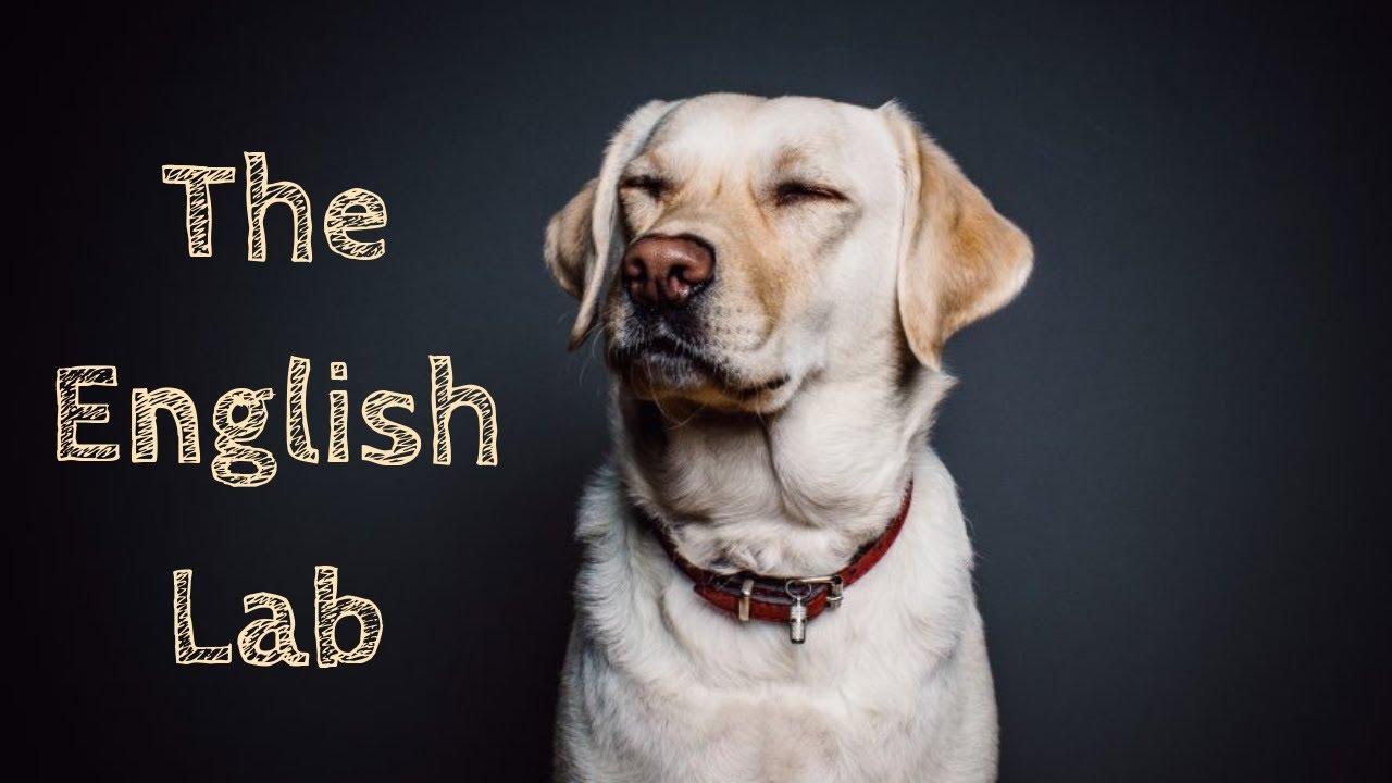 English Lab   Facts About English Vs American Labrador Retriever ...