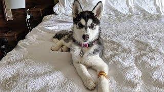 husky-puppy-kira-goes-to-the-er-vet-not-in-the-plans