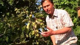 How to get y๐ur Figs on your Fig Tree to Ripen Faster