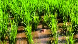 Rice duck farming