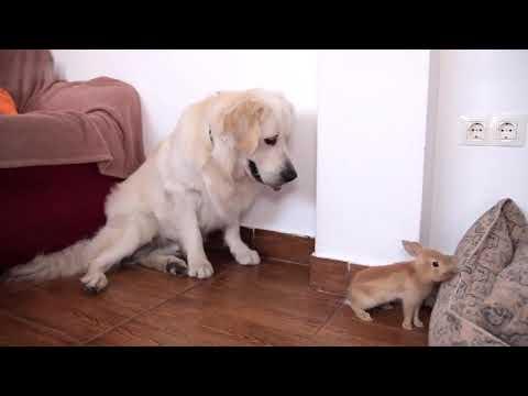 Curious Golden Retriever plays with a bunny