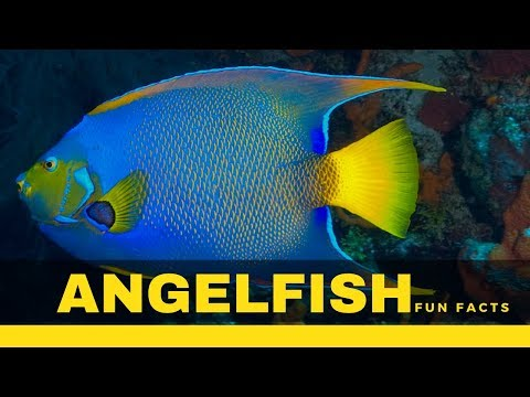 Angelfish Facts – Types, Size, Food, Care Secrets And Many More