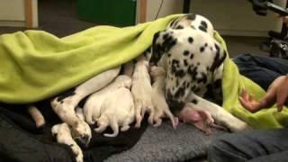 Dalmatian Puppies, New Born