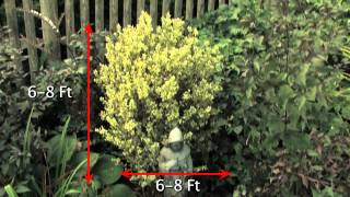 Growing a Variegated English Boxwood