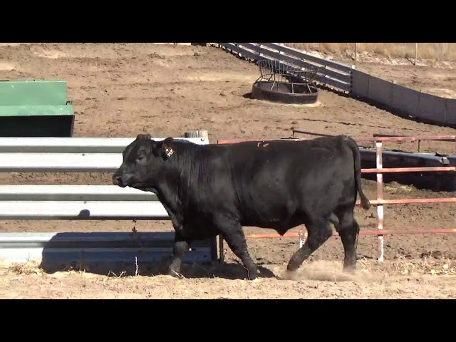 Connealy Angus Lot 11