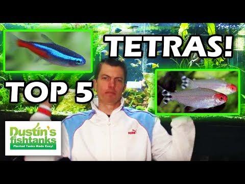 Top Five TETRAS - Tetra Fish Types - Tetra Fish Varieties - Tetra Tank