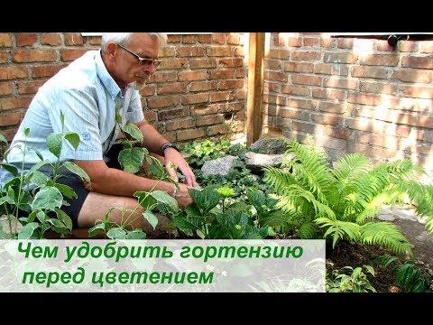 Чем удобрить гортензию перед цветением