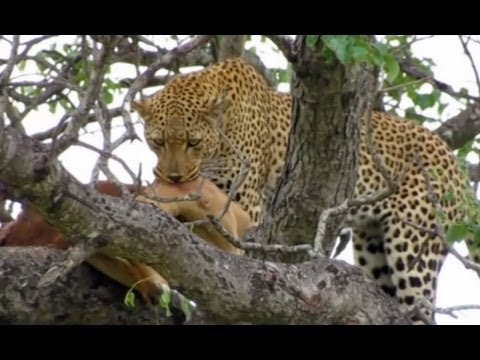 Leopard In A Tree With Impala Kill - Latest Sightings