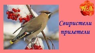 Свиристели прилетели🐦🐦Про птиц