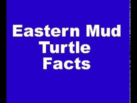 Eastern Mud Turtle Facts - Facts About Eastern Mud Turtles