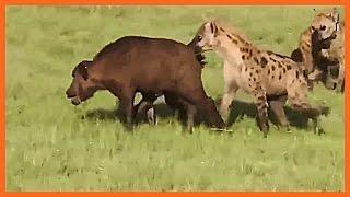 【閲覧注意】ハイエナの群れに襲われて生きたまま食べられる子牛!