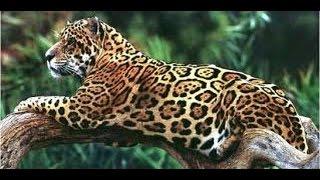 Animal Documentary National Geographic   Cheetah, SPEED TO KILL HD 2016