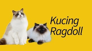10 Fakta Kucing Ragdoll—#4 bikin BINGUNG!