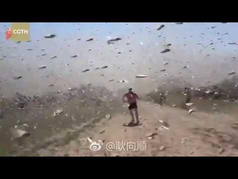 発生 中国 イナゴ 大量