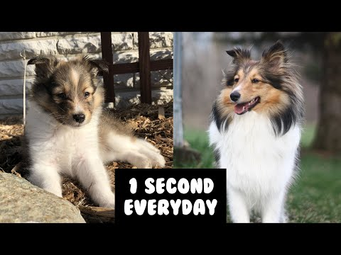 MY SHELTIE PUPPY GROWING UP! | One Second Every Day for a Year