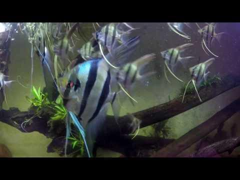 Altum Angelfish & Their Offspring.