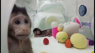 """В Китае впервые клонировали обезьяну методом """"овечки Долли"""""""
