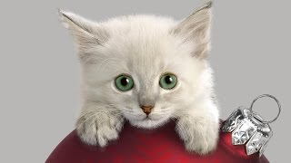 Пушистый беленький котенок. Забавный и прикольный. Коты, кошки, котята / Котэ Саратовский
