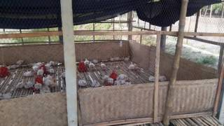Broiler farming in bangladesh
