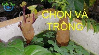 Hướng dẫn chọn và trồng khoai lang thủy sinh hiệu quả nhất