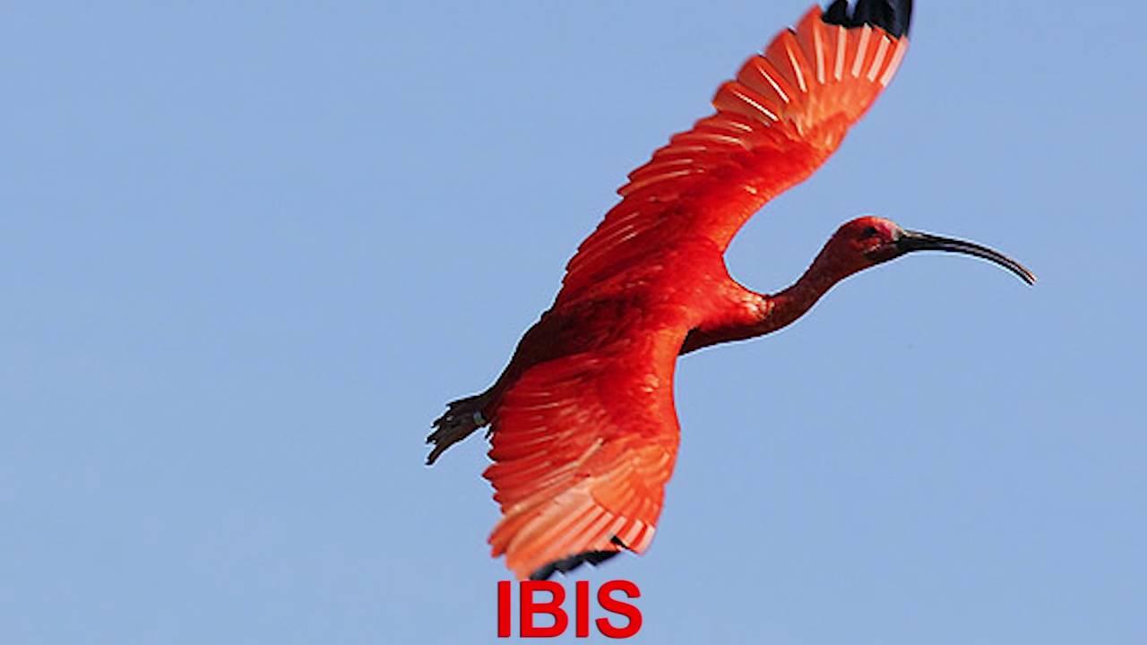 finger family nursery rhymes ibis bird finger family songs