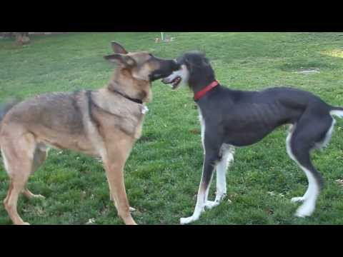Saluki and German Shepherd at Dog Park