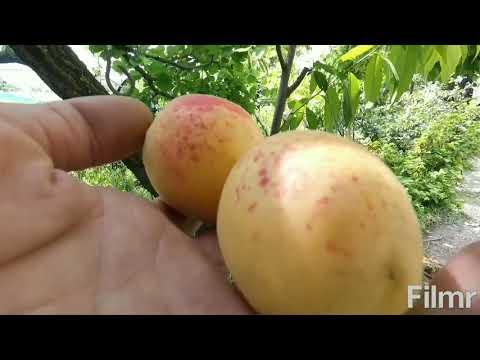 Сорт абрикоса Шалах(ананасный)