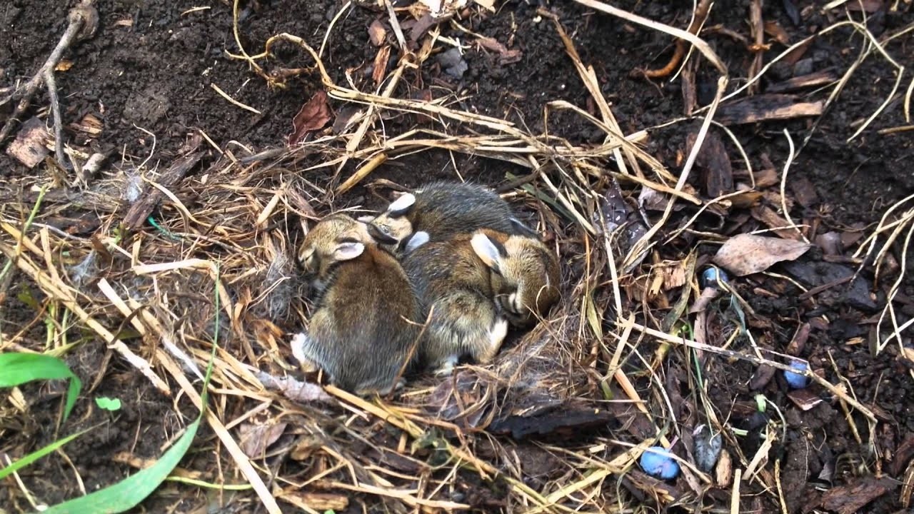 Rabbit Nest In Garden