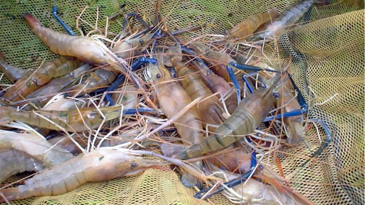 Curso cultivo de camar es de gua doce reprodu o for Criar tilapias en estanques