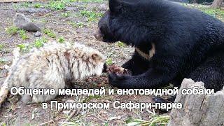 Общение медведей и енотовидной собаки в Приморском Сафари-парке