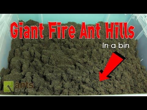 WOW! FIRE ANTS BUILD GIANT ANT HILLS in a BIN!