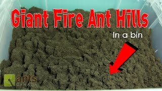 WOW! FIRE ANTS BUILD GIANT ANT HILLS in a BIN!