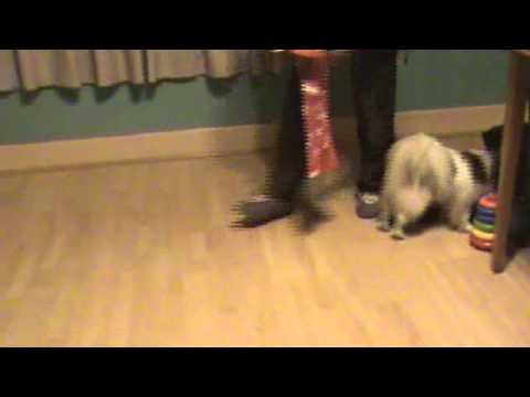 Leo Papillon amazing cute dog tricks, new