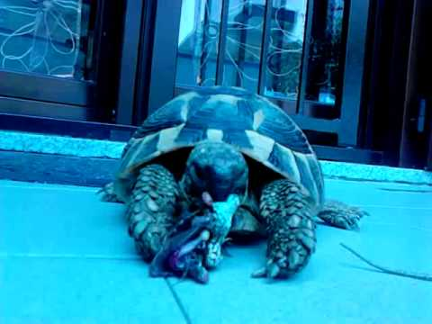 Tartaruga mangia lucertola youtube for Pesci da laghetto mangia zanzare