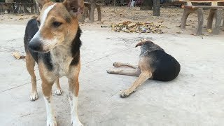 ឆ្កែ - Dog - Dogs - Funny Dogs - Dogs Playing - Funny Dogs Videos - Cute Dogs 2020
