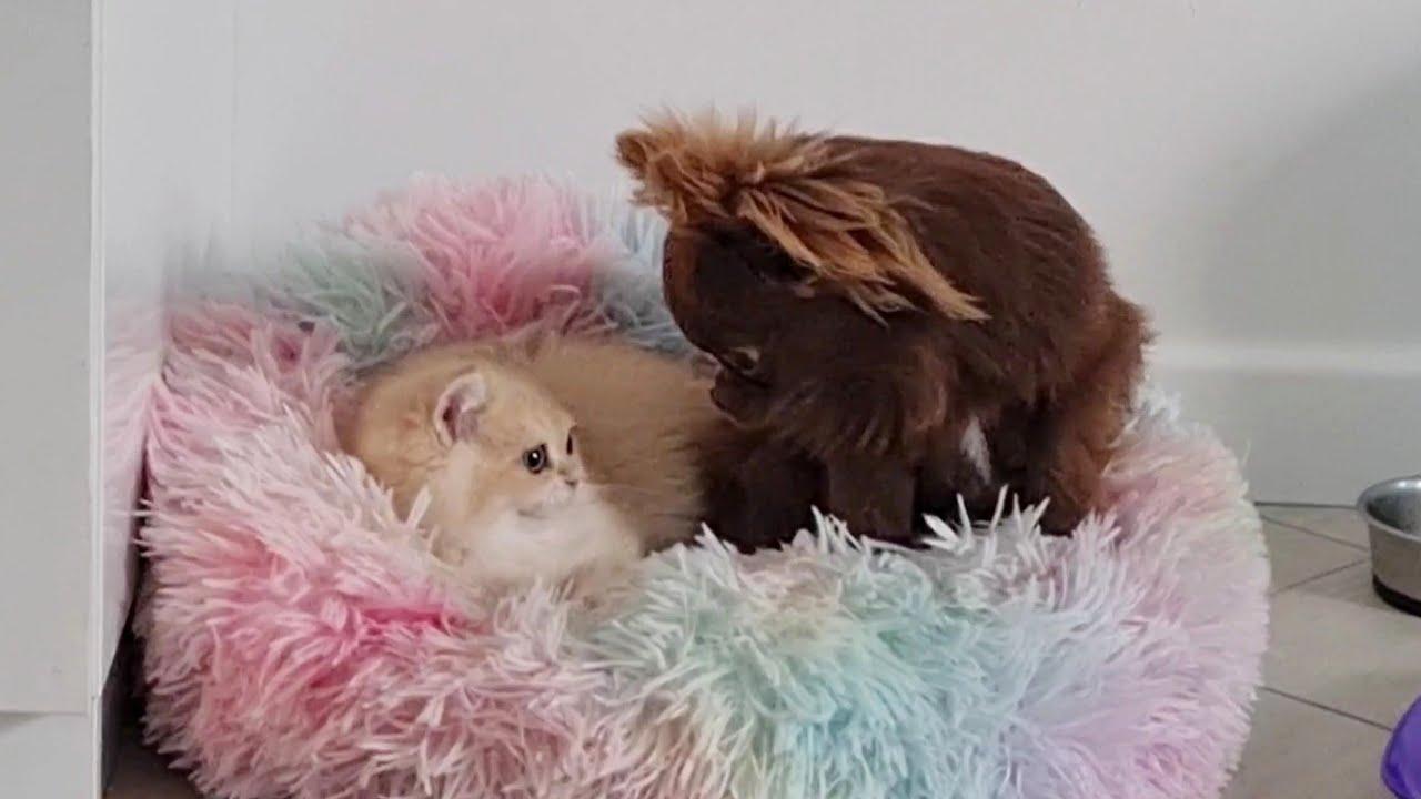 Kitten Simba took Arnold's bed 🤣