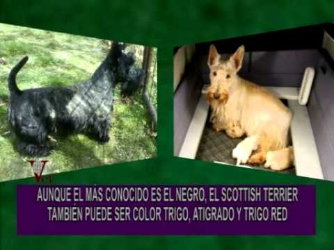 Portese Bien Sea Animal El Scottish Terrier El Negro Del Whisky Black White Youtube