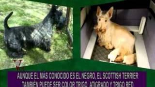 "Portese Bien, Sea Animal -- El Scottish Terrier: El Negro Del Whisky ""black & White"""