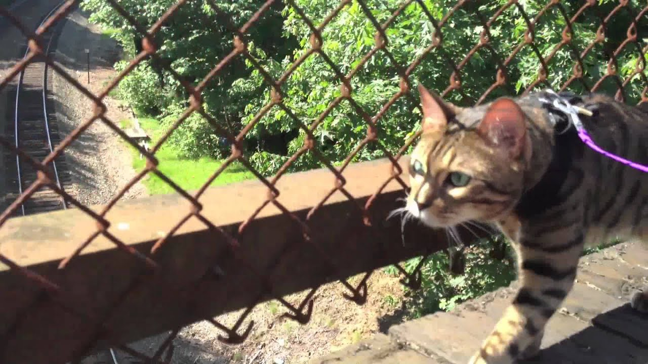 Leash Trained Bengal Cat Romeo - YouTube