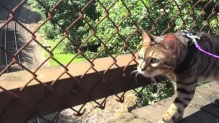 Leash Trained Bengal Cat Romeo
