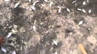 Mancing ikan tembang dan ikan selar dengan kotrek bulu merpati