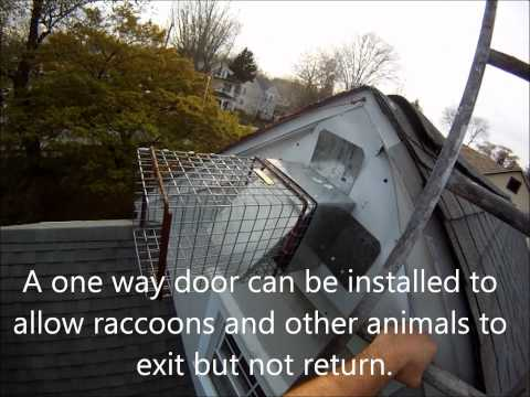 Humane Raccoon Removal in PA