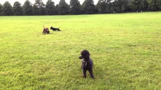 Olive The Toy Poodle Gets The Zoomies, August 2015, Blaise Estate