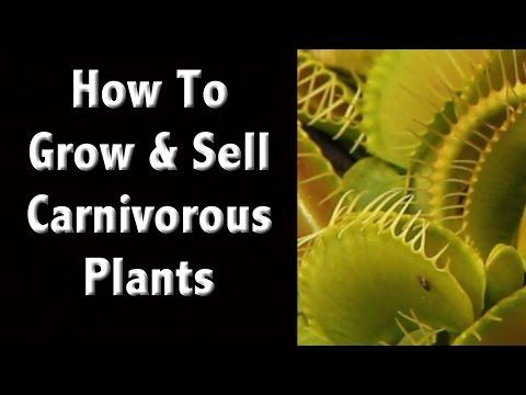 Growing The Best Carnivorous Plants - Sundews, Venus Flytraps and Pitcher Plants