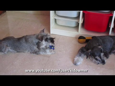 'I WANT THAT SQUEAKY TOO!' Dog's funny reaction to playmate
