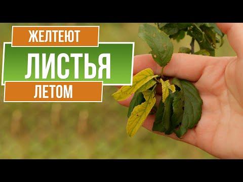 Вопрос: Почему срез яблока постепенно начинает желтеть?