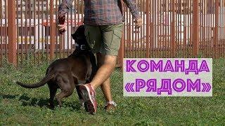 Как обучить команде Рядом || Дрессировка собак в Минске