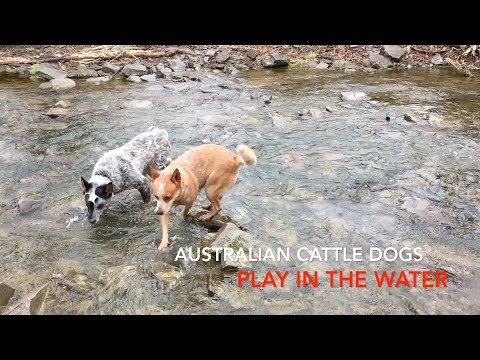 Australian Cattle Dogs - Johnson's Heelers play in the water